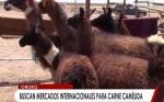 En Bolivia piden implementar una ley para regular la exportación de la carne de camélidos