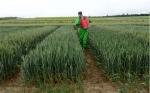 Iden Biotechnology trabaja en obtener trigo resistente a la roya y la sequía