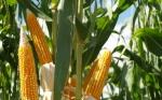 La adopción de los cultivos transgénicos crece en Tanzania, África