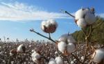 Nigeria comercializa algodón Bt, su primer cultivo OGM