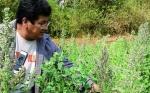 Grupo privado boliviano de investigación desarrolla producción de quinua tropicalizada