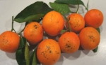 Reclaman indemnizaciones por el fracaso agrícola y comercial de dos mandarinas patentadas