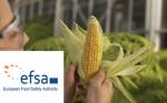 La EFSA publica dictamen científico favorable para la comercialización del maíz Bt11 × MIR162 × 1507 × GA21
