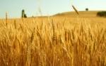 La UE puede dañar a su sector agronómico al equiparar CRISPR con los transgénicos
