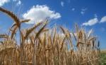 Presentada la secuencia más completa del genoma del trigo