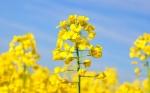 Estados Unidos libera el cultivo de la canola con DHA de la familia del omega-3
