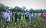 Algodón en Bolivia logra 700 kg de la primera semilla certificada