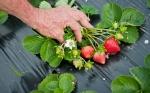 """De las hojas de la frutilla obtienen """"vacunas"""" para proteger cultivos"""