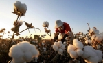 Algodón transgénico Bt reduce colosalmente el uso de pesticidas en China