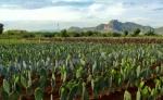Tuna: el forraje que proporciona agua a sistemas ganaderos bajo condiciones de sequía