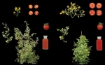 Biólogos pioneros crean un nuevo cultivo de tomate a través de la edición del genoma