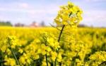 Investigadores identifican el mecanismo responsable del peso de la semilla de colza