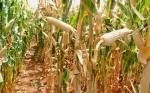 Ensayo de maíz transgénico de Tanzania muestra un contraste dramático