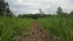 Sustentabilidad del cultivo de caña de azúcar