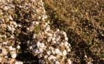 La ingeniería genética y el MIP ayudan a erradicar la lombriz rosada que ataca al algodón