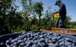 Bioeconomía 2030. Arándanos argentinos, la construcción intelectual de un negocio