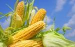 Estudio evidencia la capacidad del maíz GM contrarrestando los efectos del cambio climático