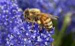 La primera vacuna del mundo para la abeja de la miel busca salvar a los polinizadores moribundos