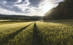 Inactivar genes aumenta la diversidad genética de cultivos