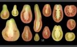 Descubren los procesos genéticos responsables de controlar la forma de los frutos
