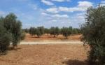 El olivar, uno de los cultivos más resistentes frente al cambio climático