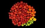 Brasileños desarrollarán tomates picantes mediante edición genética