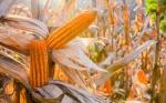 Estudio rastrea la evolución de la domesticación del maíz en América del Sur