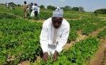 Nigeria aprueba su primer cultivo OGM: frijol caupí resistente al ataque de insectos