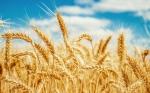 Desarrollan variedad de trigo capaz de sobrevivir en condiciones de sequía