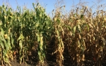 Un estudio destaca el aumento de la eficiencia del nitrógeno en los híbridos de maíz durante 70 años