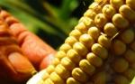 Argentina: El Ministerio de Agricultura aprobó tres nuevos eventos biotecnológicos de maíz