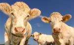 El mito del metano: por qué las vacas no son responsables del cambio climático