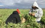 Minuto de salud del suelo: liberación de nitrógeno (o no) con cultivos de cobertura