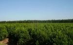 Los mecanismos que la planta de yerba mate emplea para mitigar la sequía
