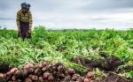 Ruanda probará variedades de papa GM