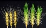Trigo resistente a la lluvia desarrollado mediante la edición del genoma