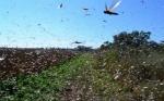 Argentina: Senasa extiende emergencia fitosanitaria de langosta hasta 2021