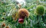 Un castaño americano genéticamente modificado podría salvar al árbol de su extinción