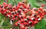 Los microorganismos presentes en guaraná tienen potencial para la agricultura y la salud humana