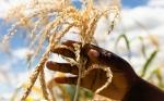 Zimbabwe levanta silenciosamente la prohibición de las importaciones de maíz genéticamente modificado en un intento por evitar la hambruna