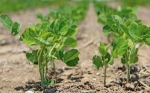Las plantas editadas con CRISPR pueden ayudar a frenar la pérdida anual de cosechas de $ 220 mil millones