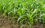 Científicos argentinos identificaron un gen clave para la resistencia de plantas a patógenos y salinidad