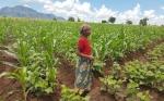 Mozambique ve los cultivos transgénicos como una forma de reducir la pobreza, lograr la seguridad alimentaria