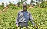 Los agricultores de Kenia comienzan a cultivar algodón biotecnológico