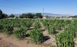El maíz tolerante a la sequía viene con una ventaja: resistencia a los ácaros