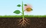 Los investigadores de SMART diseñan un sensor basado en plantas para monitorear los niveles de arsénico en el suelo
