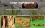 Lanzamiento del Sitio Web Wheat Rust Genomics