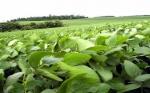 ARGENTINA: Aprueban eventos biotecnológicos en soja y maíz de Dow AgroSciences