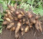 El INTA en Argentina apuesta a la producción de yacón, una raíz andina con múltiples beneficios nutricionales