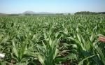 En Uruguay, productores reclaman que el presidente Vázquez intervenga para poder destrabar la aprobación de semillas transgénicas